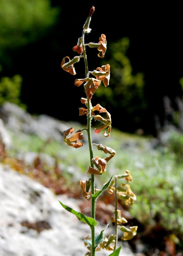 Hesperis laciniata subsp. laciniata 2