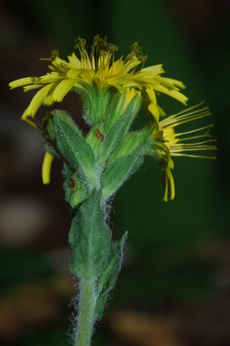 Hieacium lachenalii (Gruppo) 10
