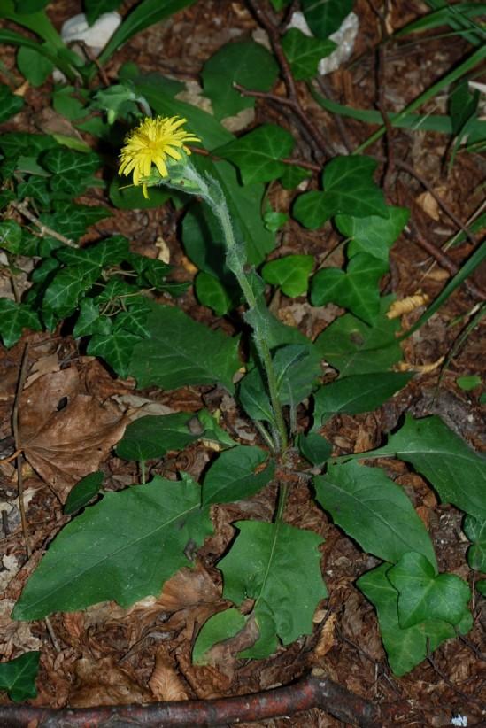 Hieacium lachenalii (Gruppo) 12