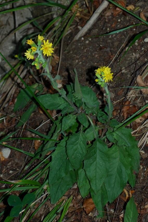 Hieacium lachenalii (Gruppo) 15