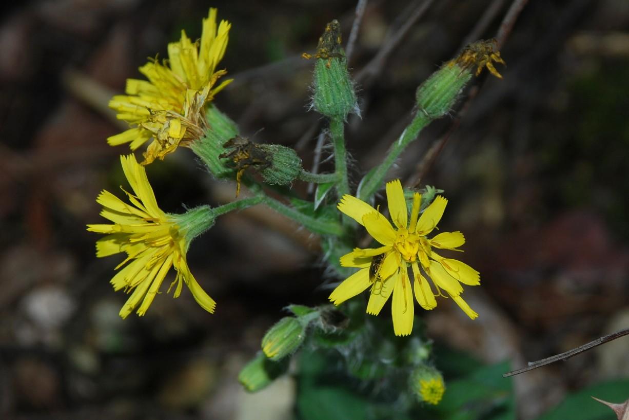 Hieacium lachenalii (Gruppo) 17