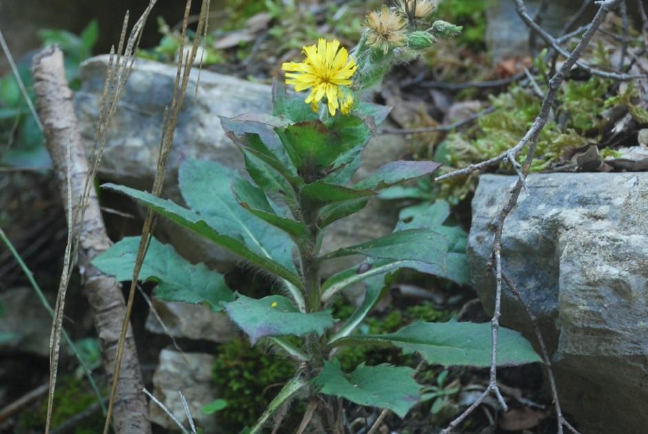 Hieacium lachenalii (Gruppo) 18