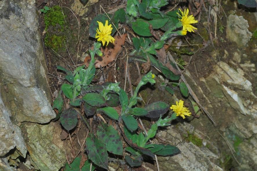 Hieacium lachenalii (Gruppo) 20