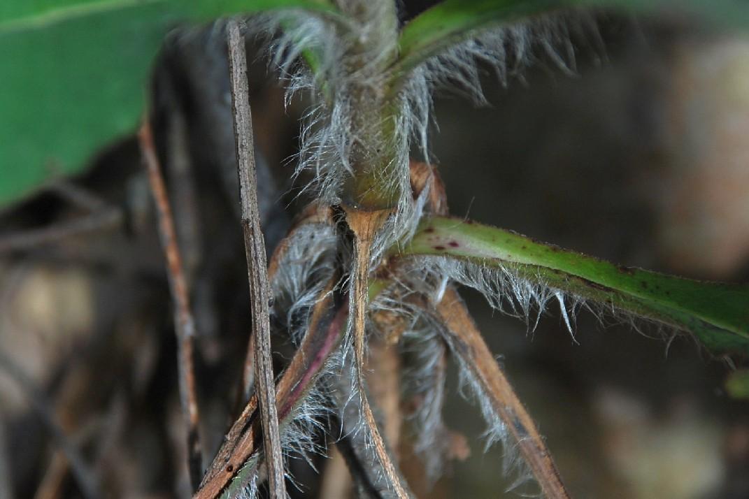 Hieacium lachenalii (Gruppo) 21
