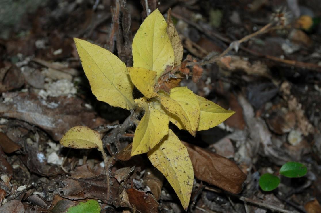 Hieacium lachenalii (Gruppo) 22