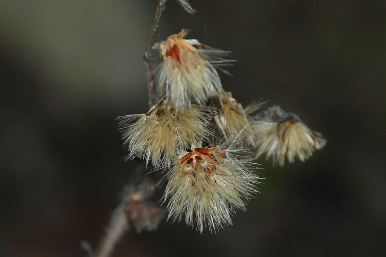 Hieacium lachenalii (Gruppo) 24