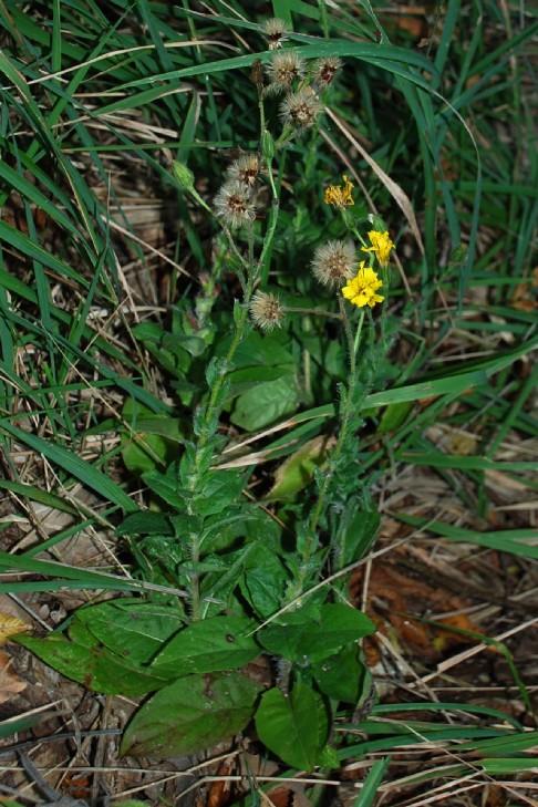 Hieacium lachenalii (Gruppo) 5