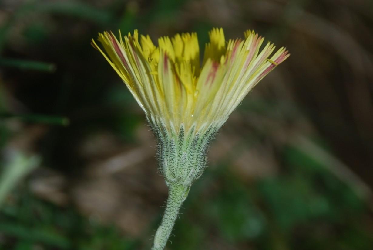 Pilosella sp. 2