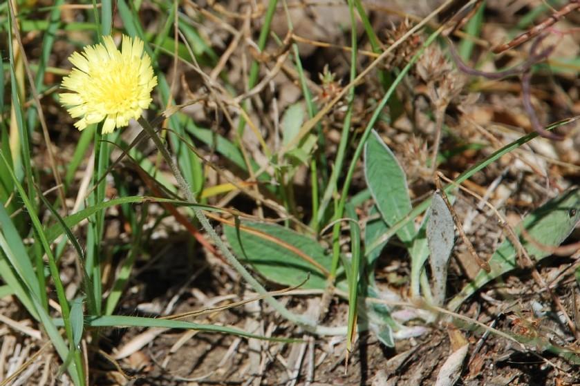 Pilosella sp. 5