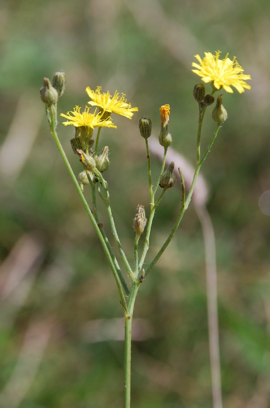Pilosella sp. 13