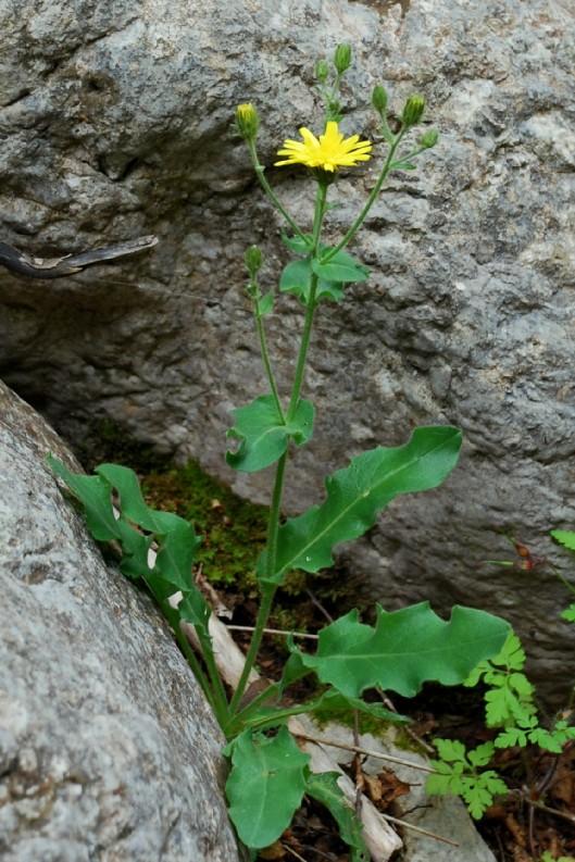 Hieracium sp. 14Hieracium sp. 14