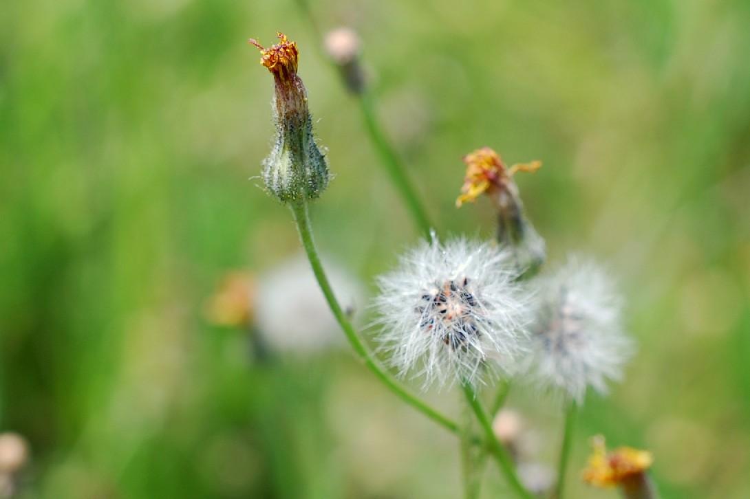 Pilosella sp. 15