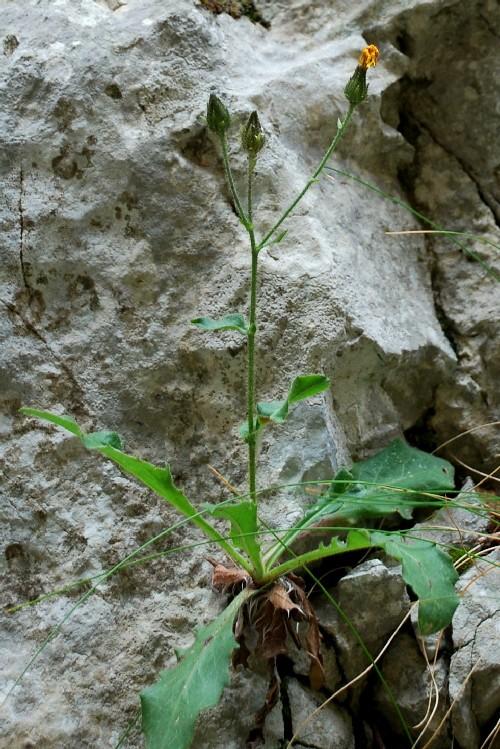 Hieracium sp. 15