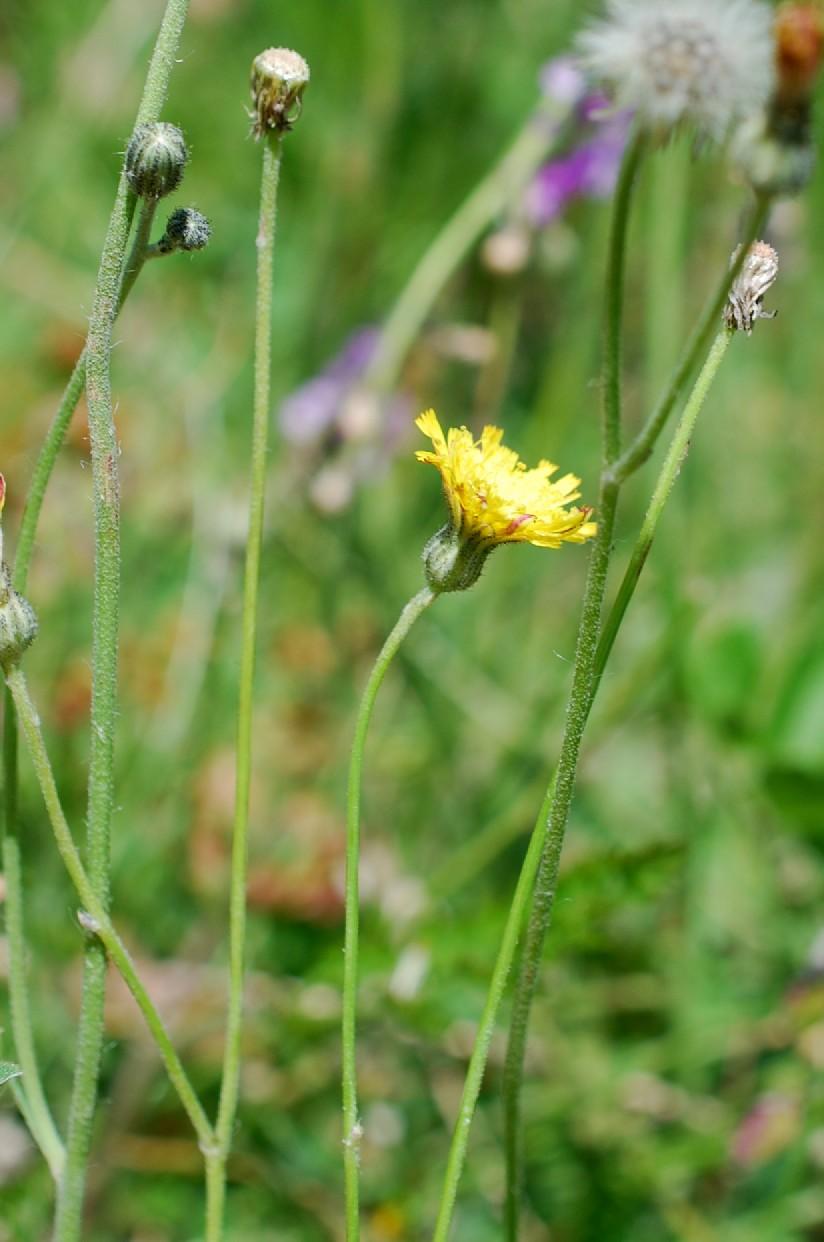 Pilosella sp. 3