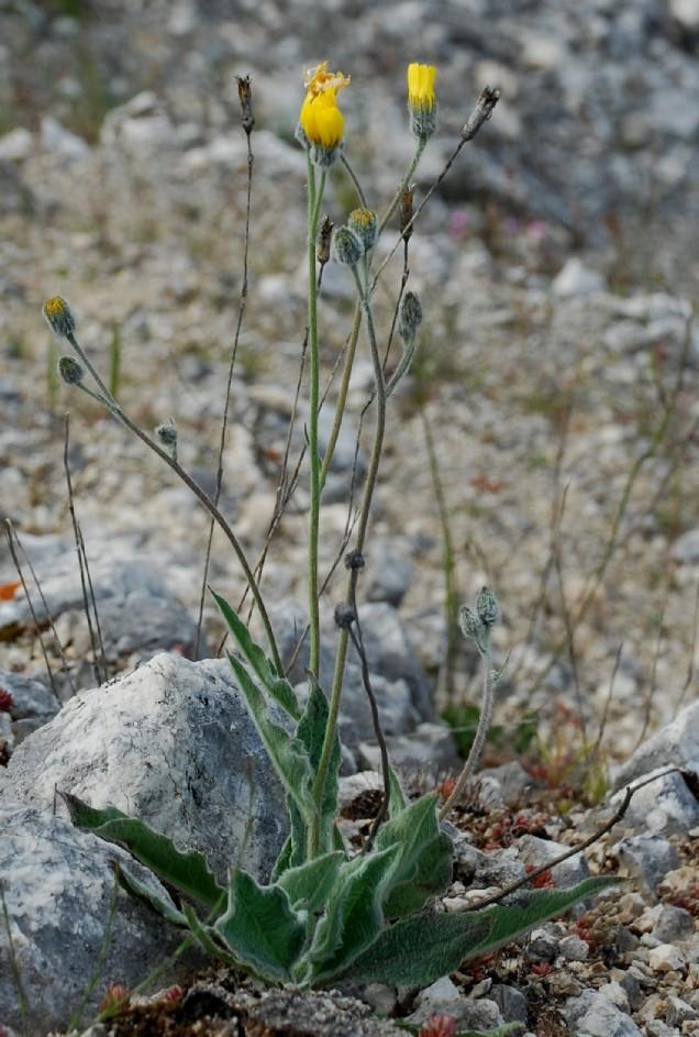 Hieracium sp. 5