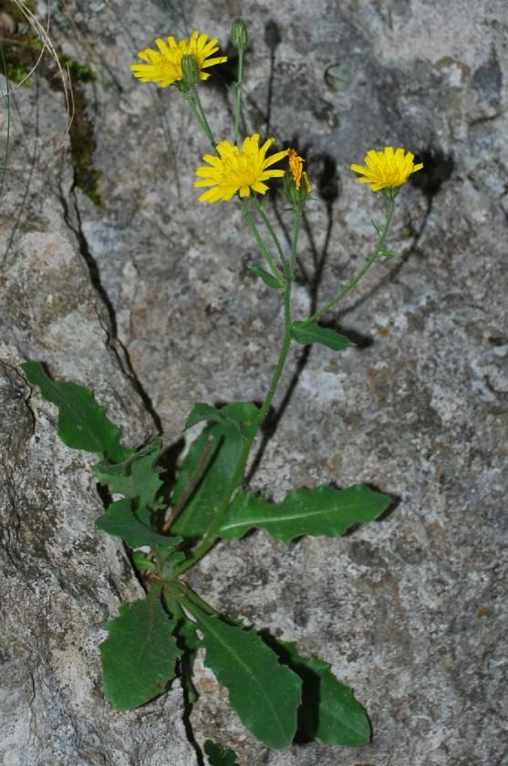 Hieracium sp. 6