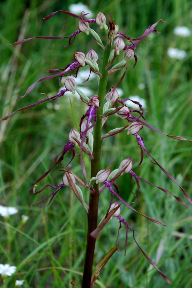 Himantoglossum adriaticum 5