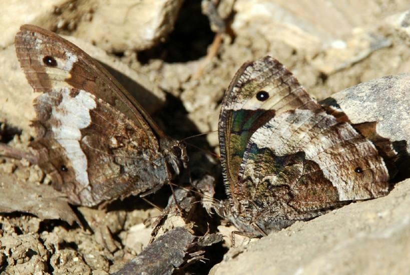 Hipparchia sp. - Nymphalidae