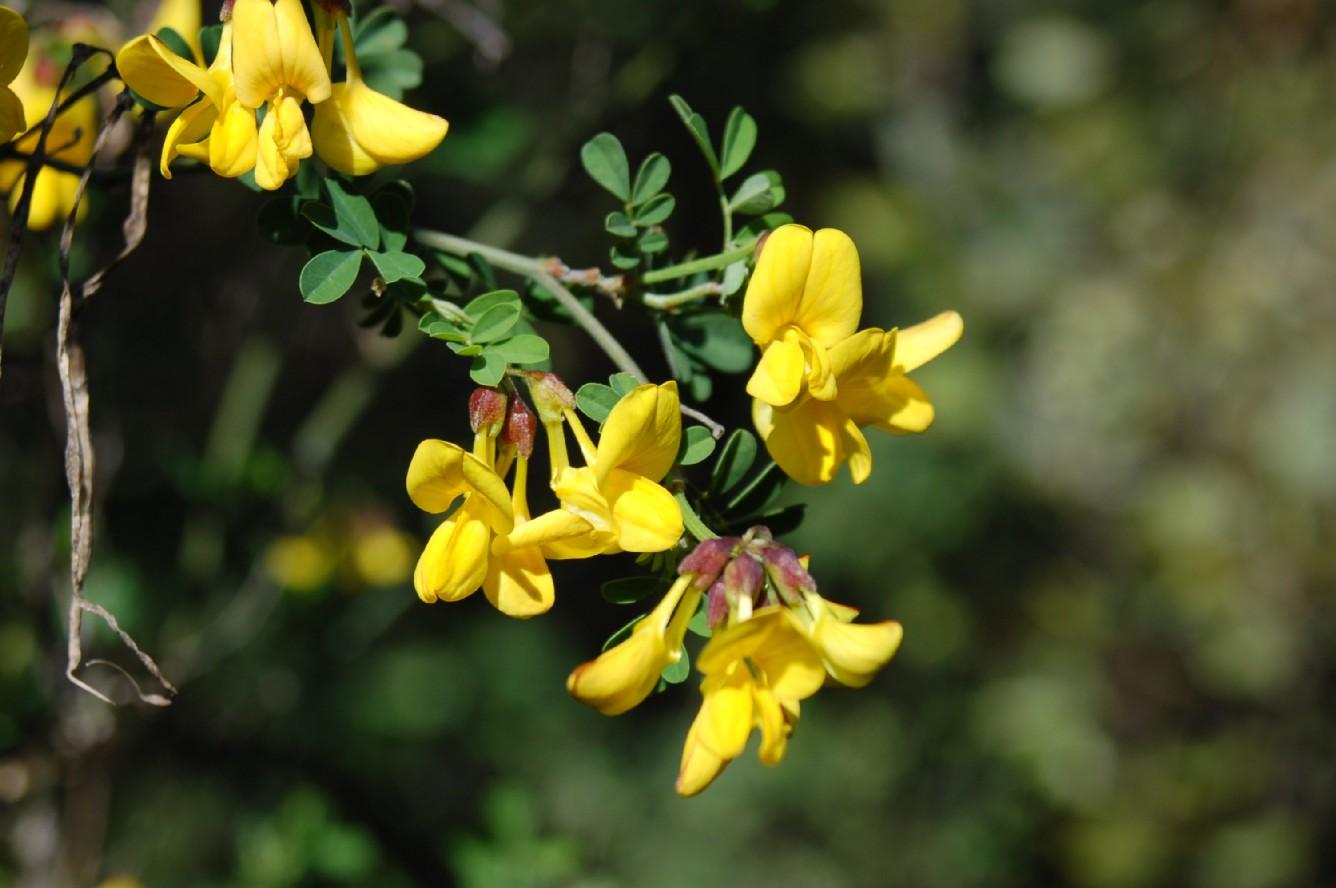 Hippocrepis emerus subsp. emerus