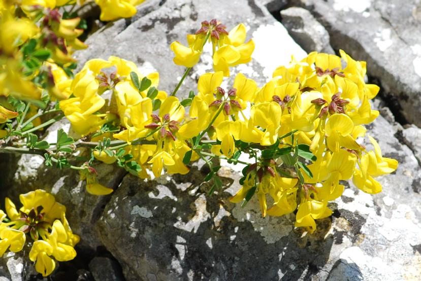 Hippocrepis emerus subsp. emerus 4