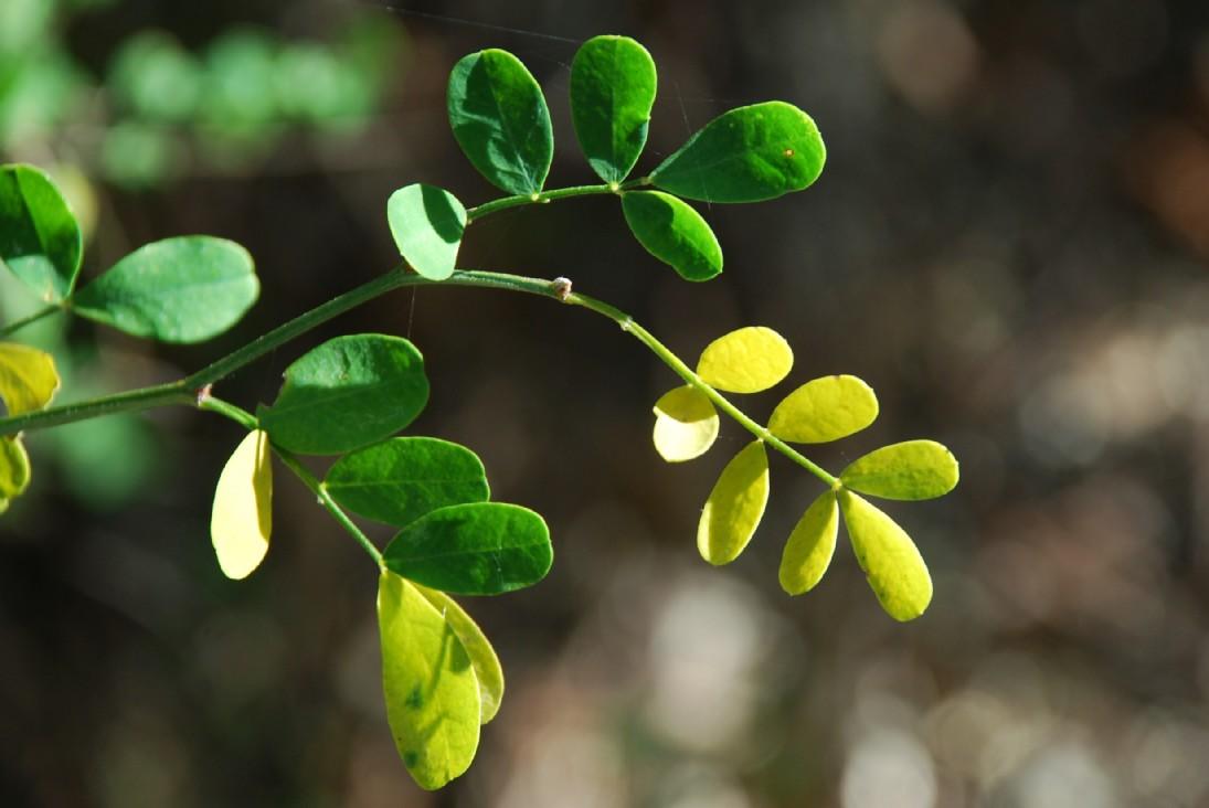 Hippocrepis emerus subsp. emerus 5