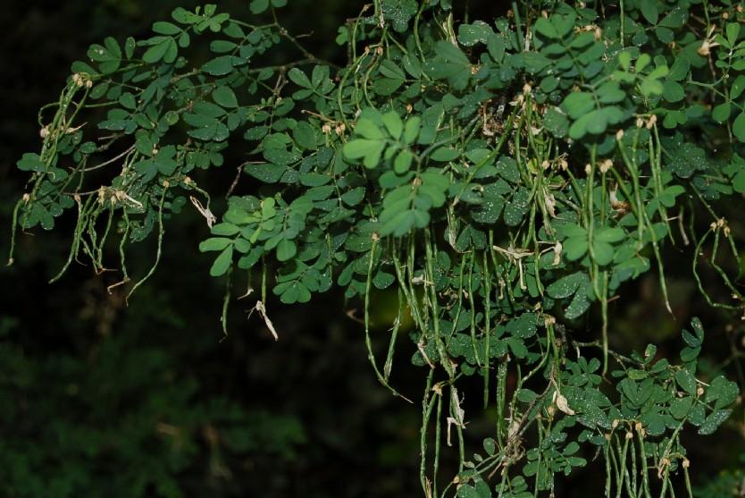 Hippocrepis emerus subsp. emerus 6