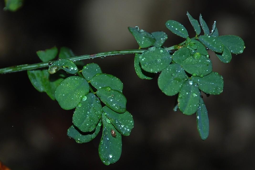 Hippocrepis emerus subsp. emerus 7
