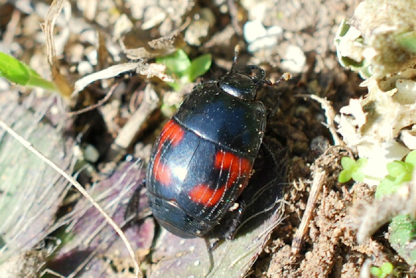 Hister quadrimaculatus - Histeridae