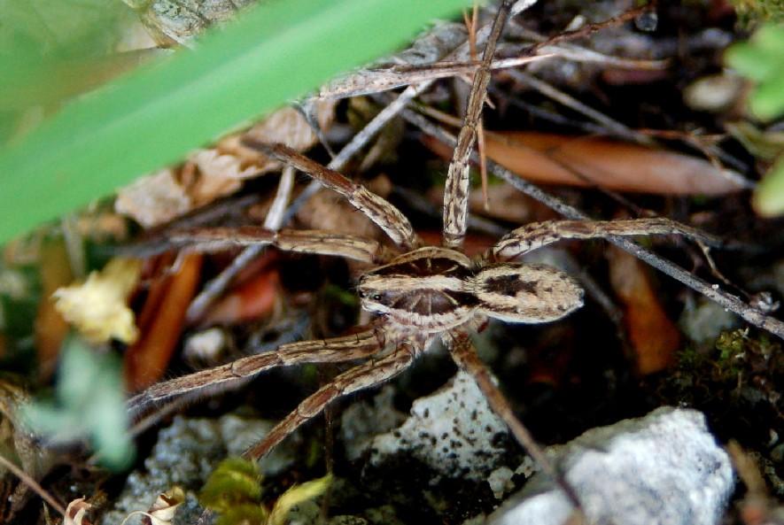 Hogna radiata - Lycosidae