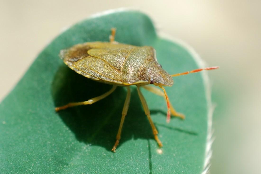 Holcostethus sp. - Pentatomidae