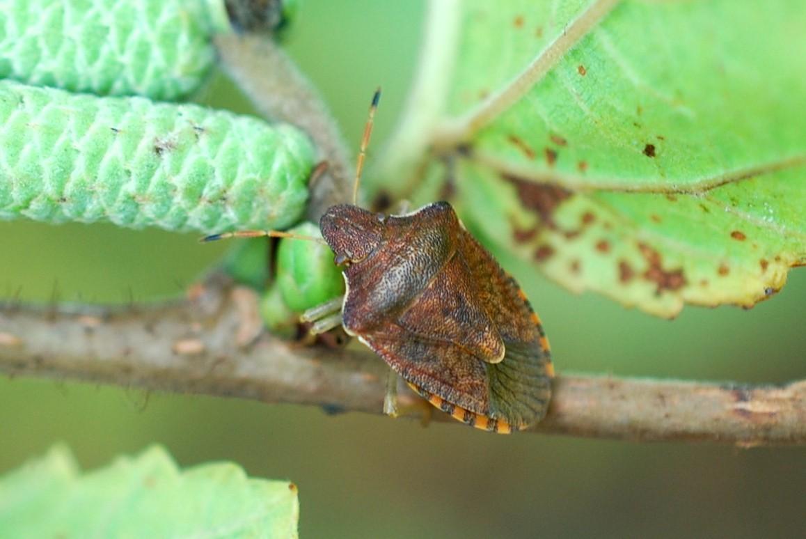 Holcostethus vernalis - Pentatomidae