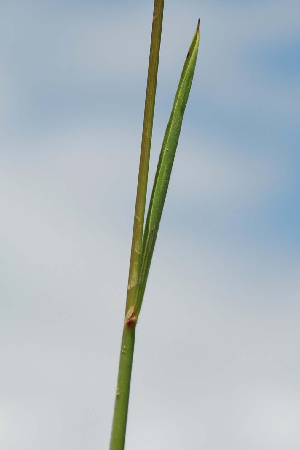 Holcus mollis 4