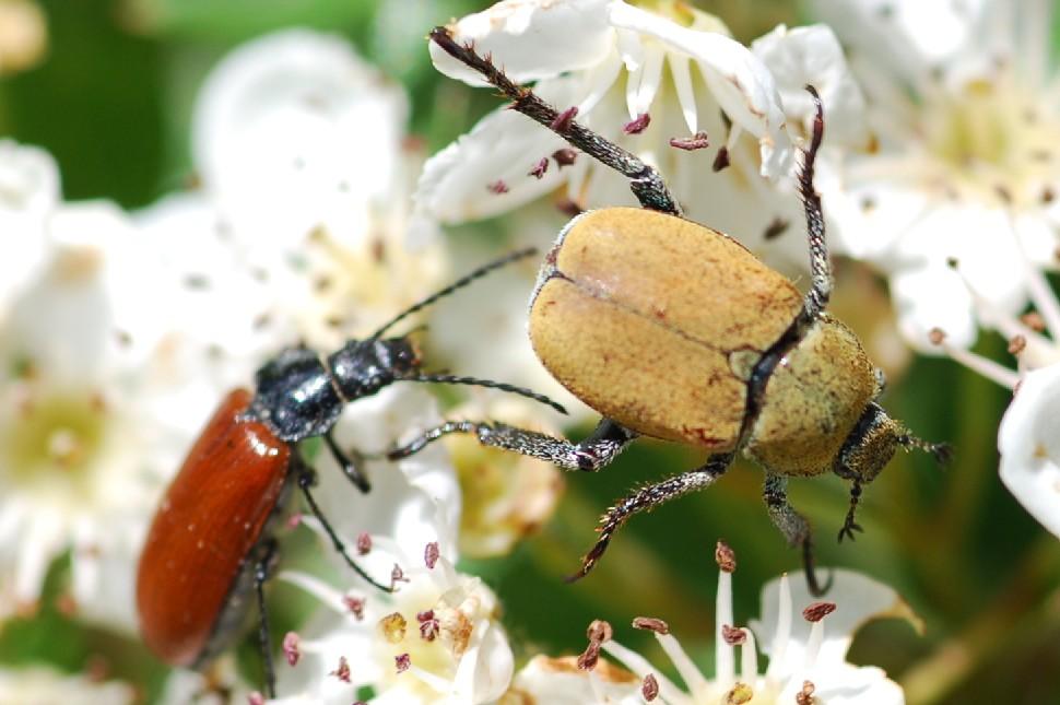 Hoplia argentea - Scarabeidae