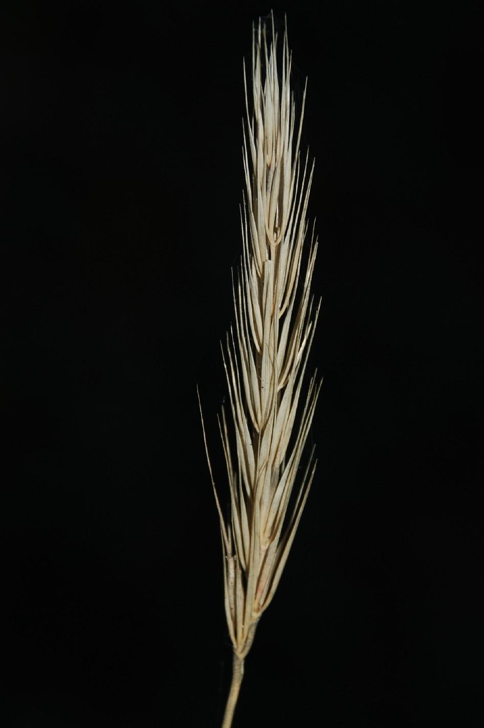 Hordelymus europaeus 2