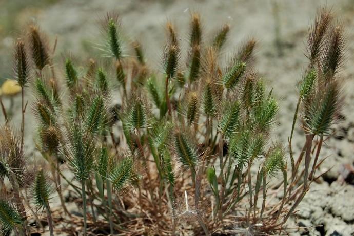 Hordeum marinum