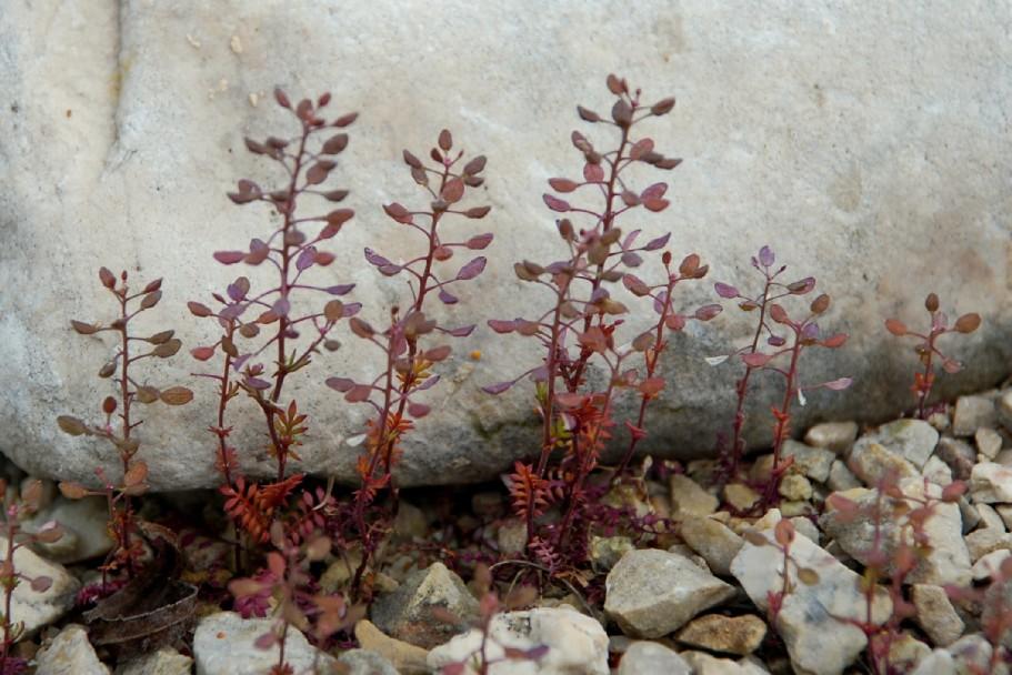 Hornungia petraea subsp. petraea 6