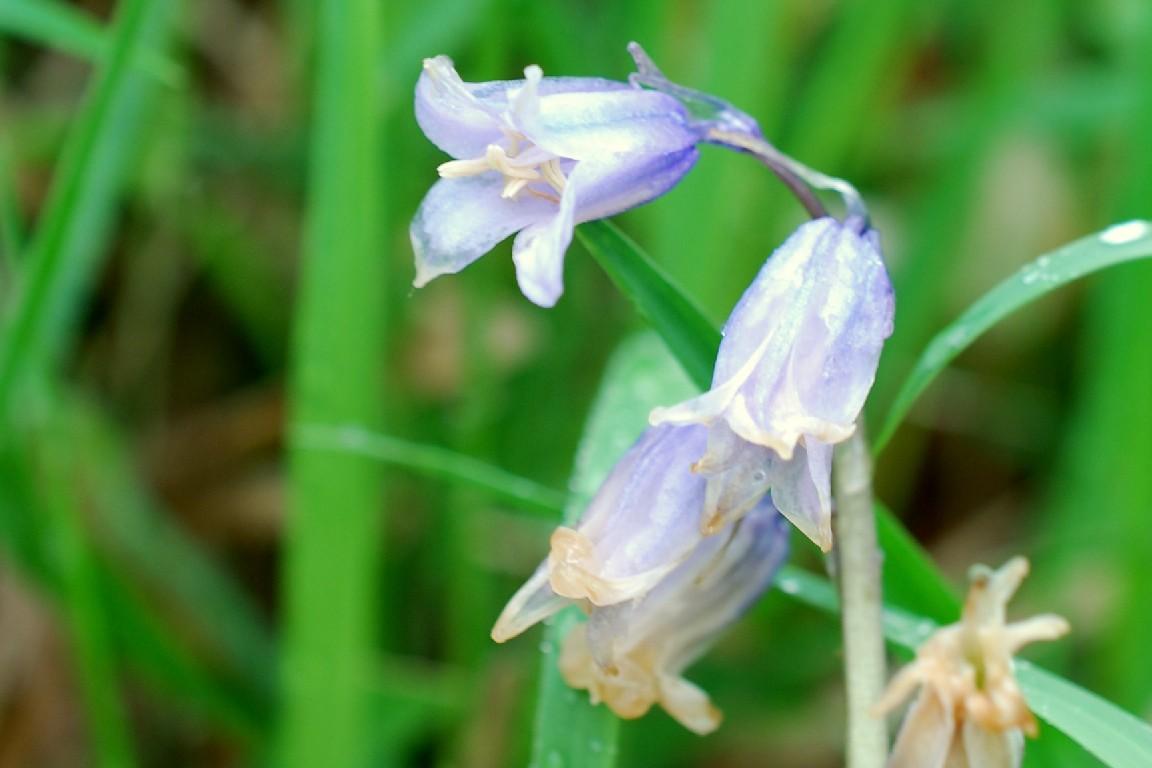 Hyacinthoides sp. 3