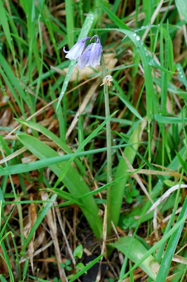 Hyacinthoides sp. 4