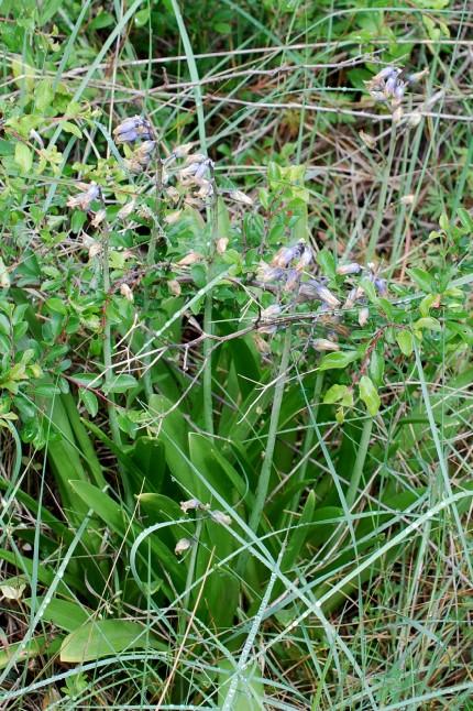 Hyacinthoides sp. 6