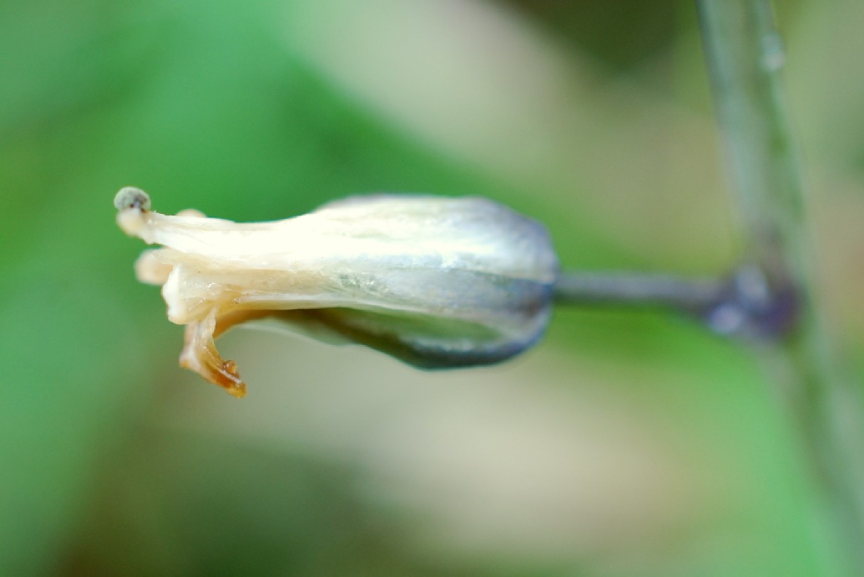 Hyacinthoides sp. 8