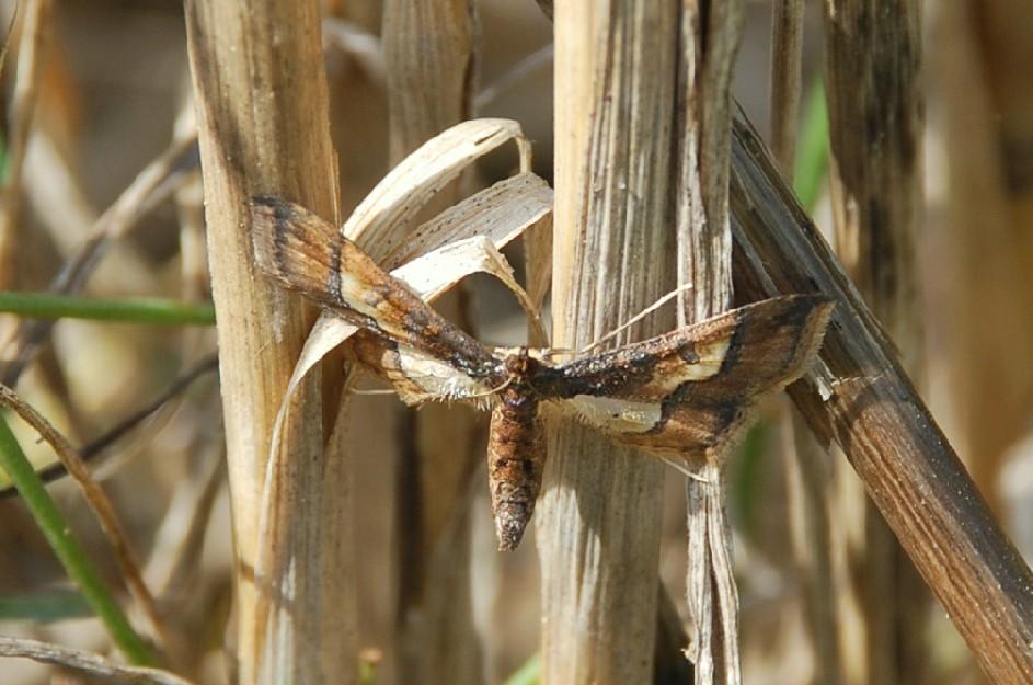 Hydriris ornatalis - Crambidae