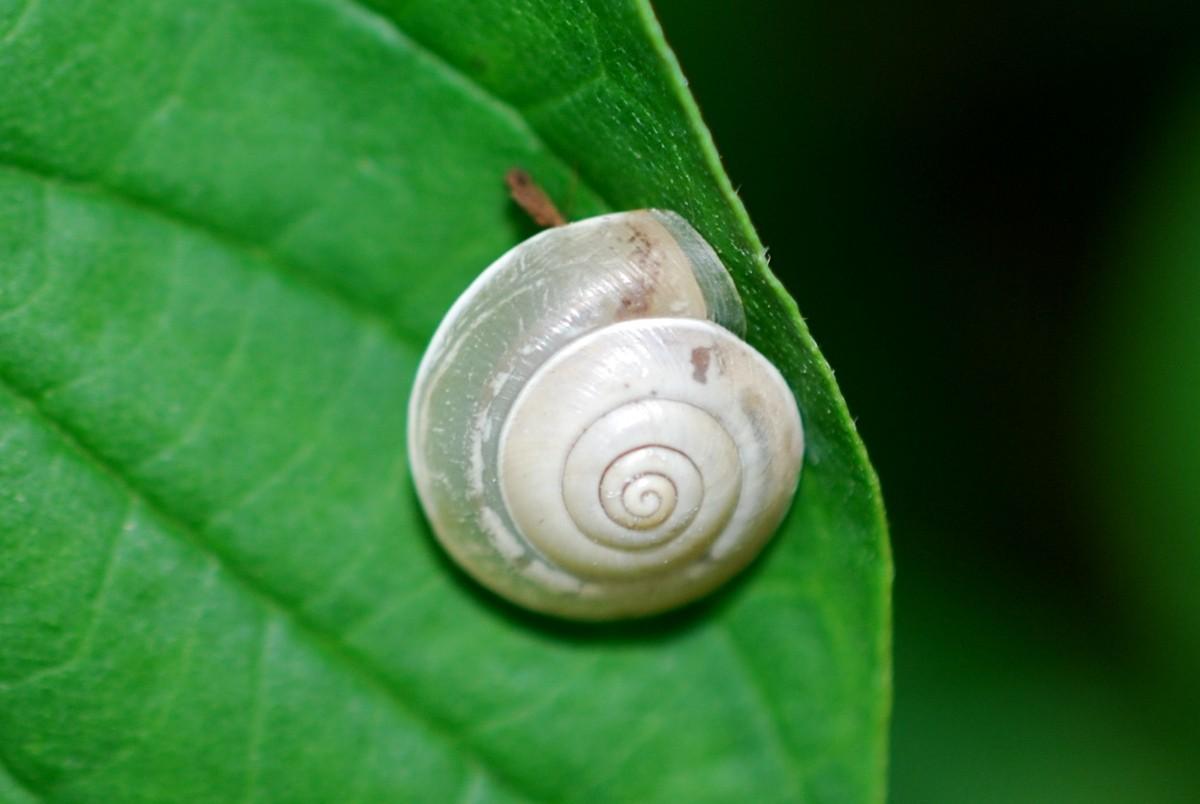 Hygromia sp. - Hygromiidae