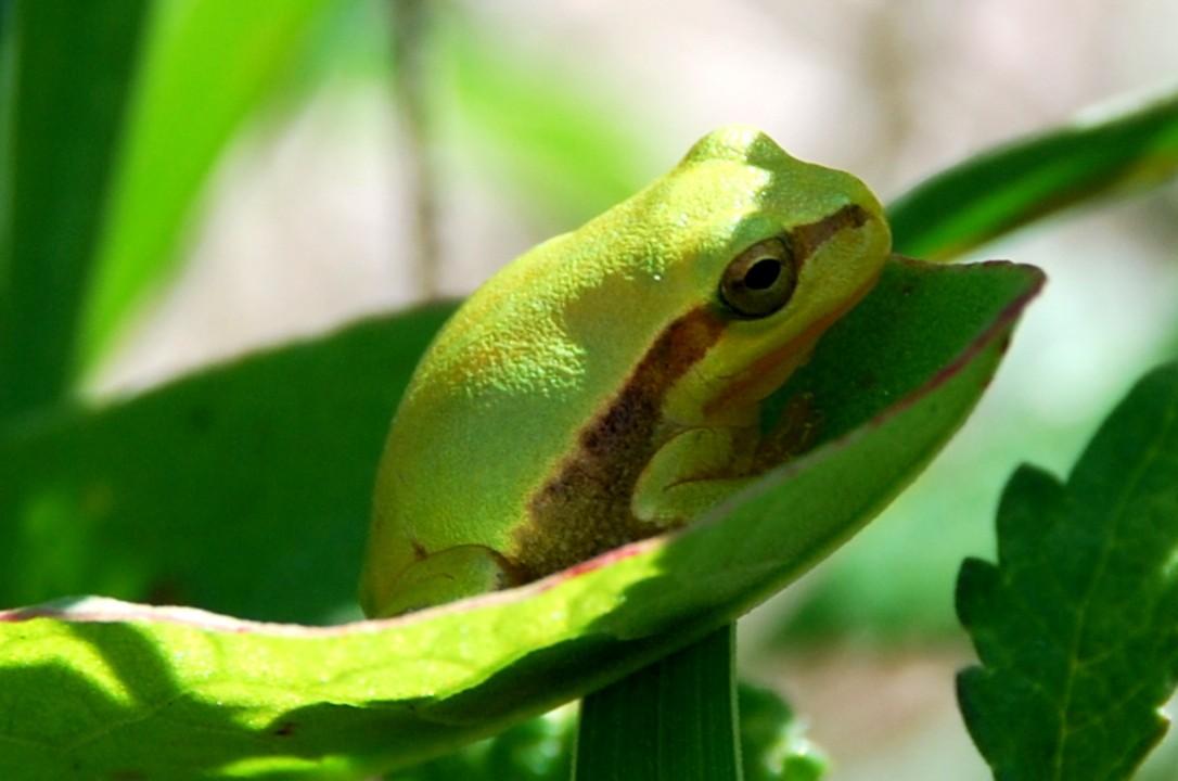 Hyla intermedia - Hylidae