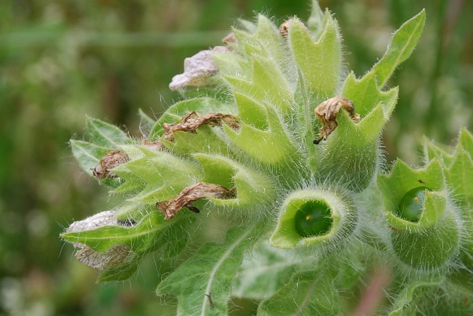 Hyoscyamus niger 4