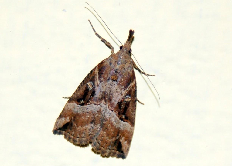 Hypena rostralis - Noctuidae