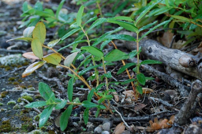 Hypericum calycinum 5