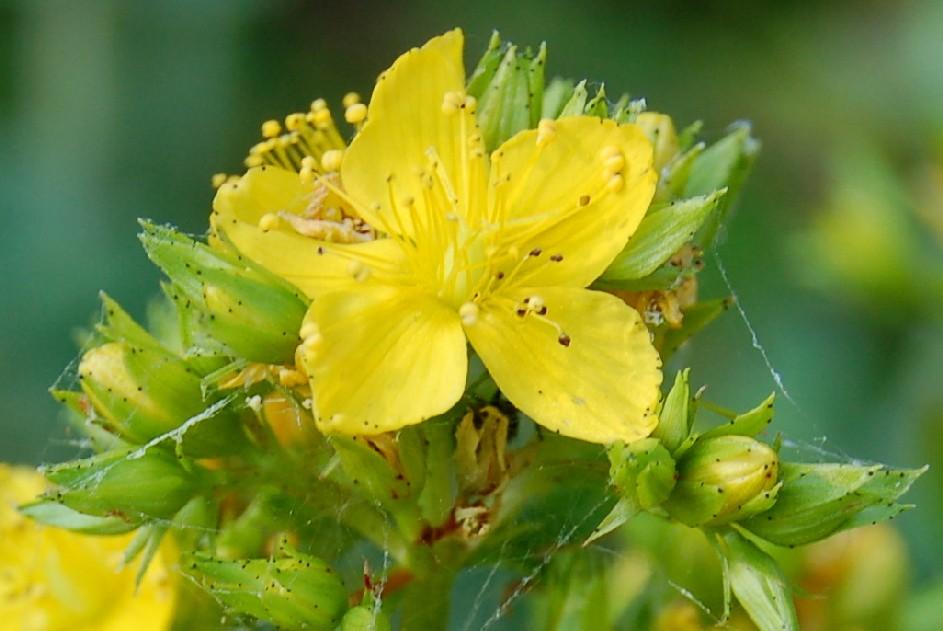 Hypericum perfoliatum 4