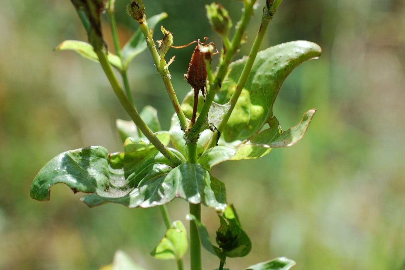 Hypericum perfoliatum 14