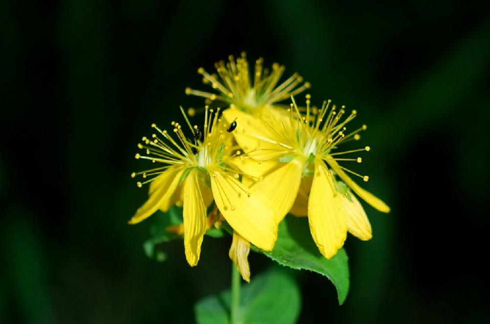Hypericum perfoliatum 16
