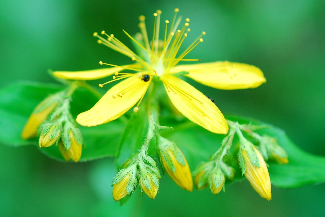 Hypericum perfoliatum 17